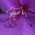 Flor de Siete Cueros