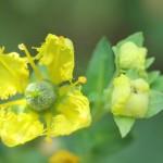Flor de ruda