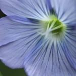 florvioleta