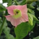 Flor de Tabaco