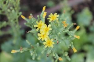 flor de lechuga